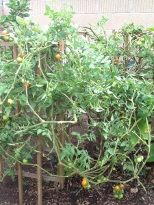 My friend Marina gave me these photos. Look at these crazy tomato trees!