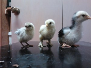 Bubbles the Ameraucana, Gretal the Silkie and Esmerelda the Giant Orpington, back in April when we first got them.