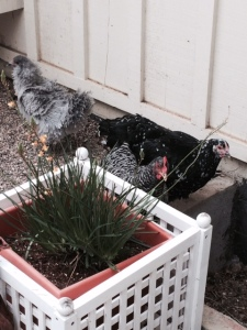 chickens eating bulbine